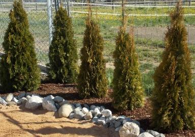 pflanzenverkauf_thuja_002